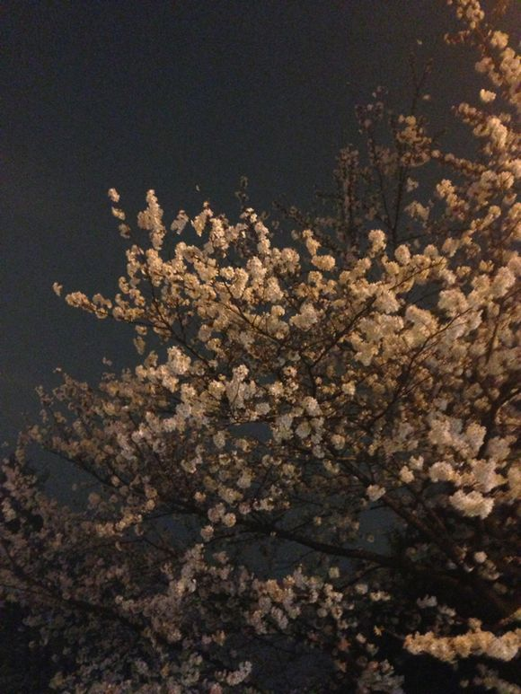 夜桜(^ ^)